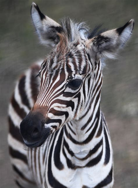 Baby Zebra st paul s como zoo welcomes new baby zebra startribune