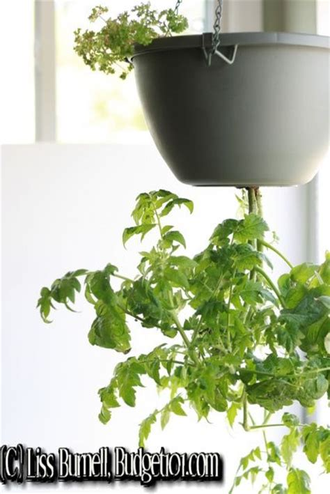Tomato Planter Ideas by 17 Best Ideas About Tomato Planter On What Is