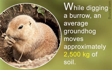 groundhog day information wonderfully astounding facts about groundhogs