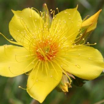 Bibit Benih Bunga Yellow Hyssop bibit yellow blazing