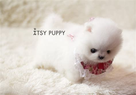 micro teacup white pomeranian teacup pomeranian puppy