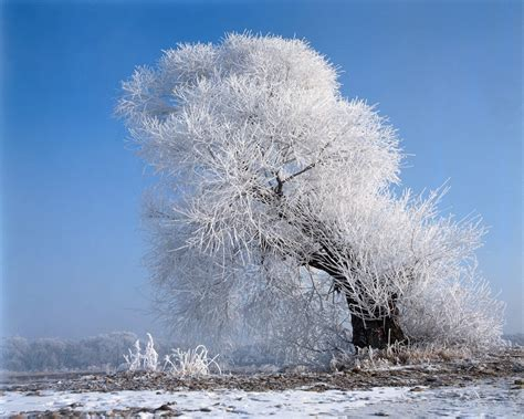 1024x768 beautiful white tree desktop pc and mac wallpaper