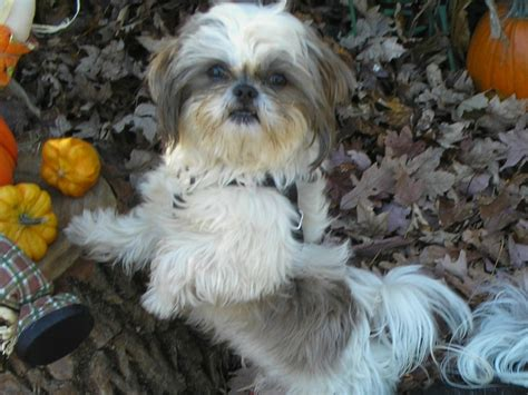 shih tzu puppies for sale in nc craigslist shih tzu breeders near me assistedlivingcares