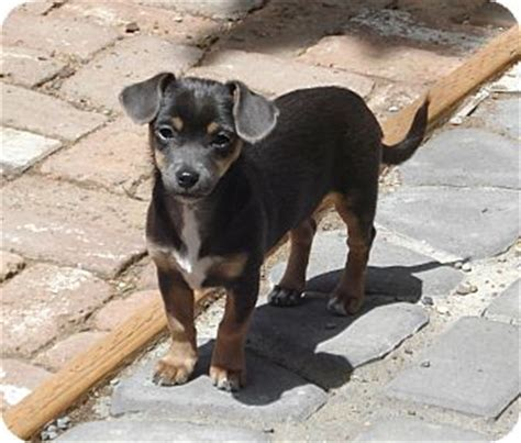 chihuahua and weiner mix 6 facts about chiweenie a k a chihuahua dachshund mix animalso