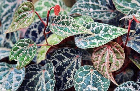 Tanaman Hias Merambat Sirih Merah tips pengobatan dengan daun sirih