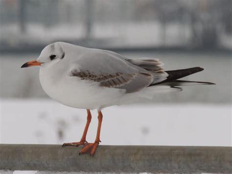 lachm246we common blackheaded gull larus ridibundus