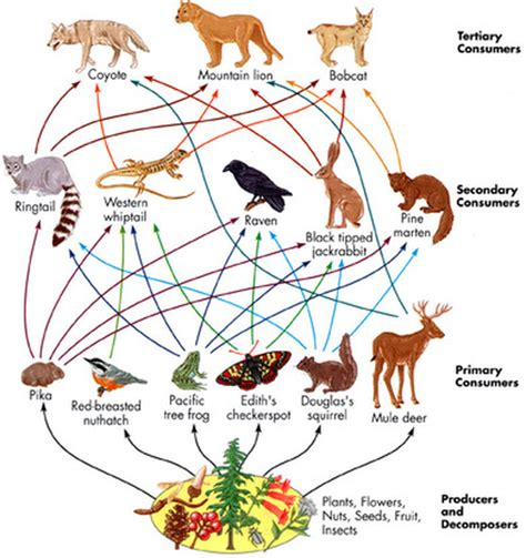 food web maker food web temperate deciduous forest