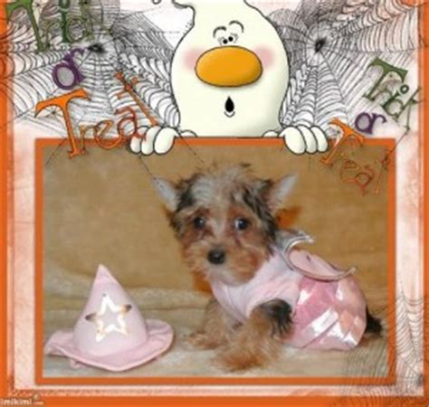 yorkie puppies for sale in shreveport la maltese puppies for free adoption precious teacup maltese puppies breeds picture