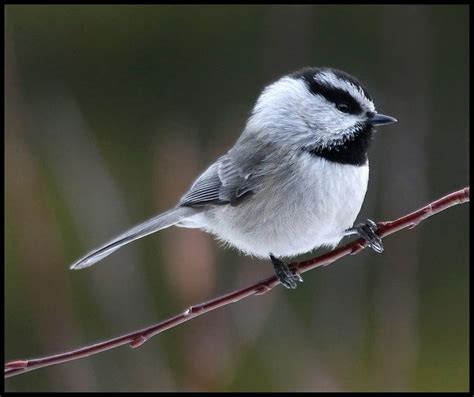 mountain chickadee felt ornament pinterest