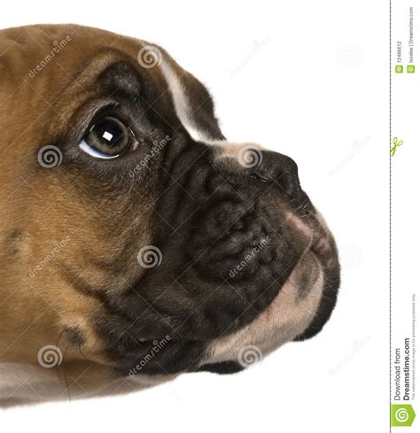 2 month puppy puppy boxer 2 months looking up stock photography image 12486612