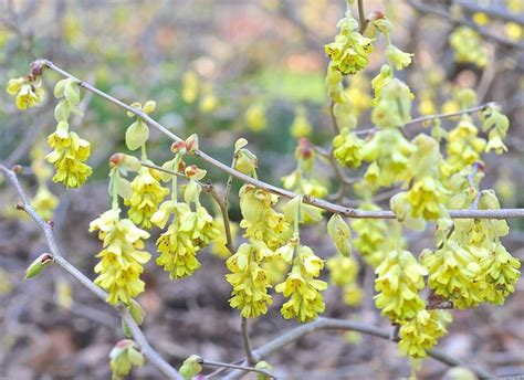 early flowering shrubs beating forsythia to spring s flowering shrub punch a