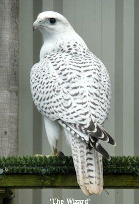 white bird  black spots raptors bird pretty birds