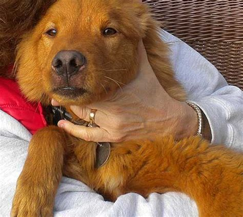 foothills golden retriever rescue 643 best images about what i don t like animal abuse and others on