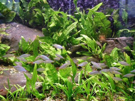 plants for tropical aquarium aquarium fish plants file aquarium plants and fish