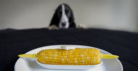 can dogs eat corn on the cob can dogs eat corn safely from corn on the cob to cooked and cans