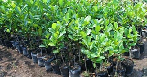 penangkar jual bibit tanaman pohon buahbunga kayu