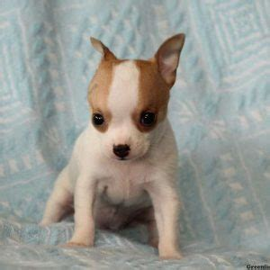 teacup puppies sale md chihuahua puppies for sale in de md ny nj philly dc and baltimore