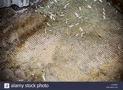 wool moths in rugs pupae of the carpet moth on a patch of moth eaten wool carpet stock photo royalty free image