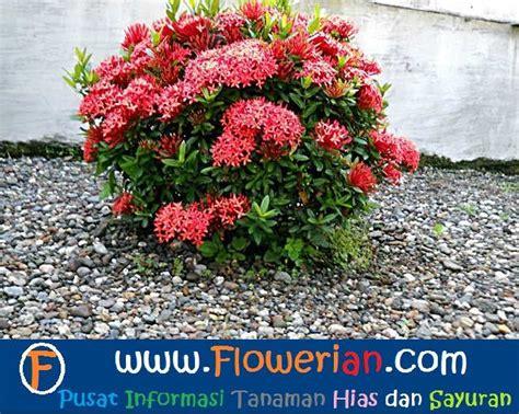 Pupuk Untuk Bunga Suplir cara merawat bunga soka tanaman hias bunga buah dan sayur