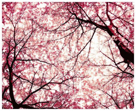 cherry bloosom tree japanese cherry tree sakura images sakura hd wallpaper and background photos 11430775