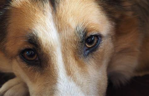 puppy eye free photo pet free image on pixabay 1076708