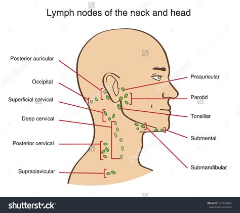 neck lymph node locations diagram lymph node locations lymph nodes back of human