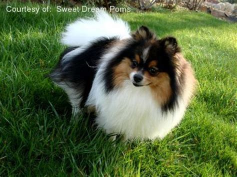 medium sized pomeranian medium sized pomeranian breeds picture