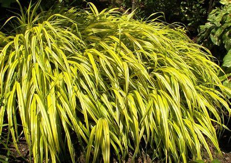 japanische gräser hakonechloa macra japanisches waldgras berggras japan