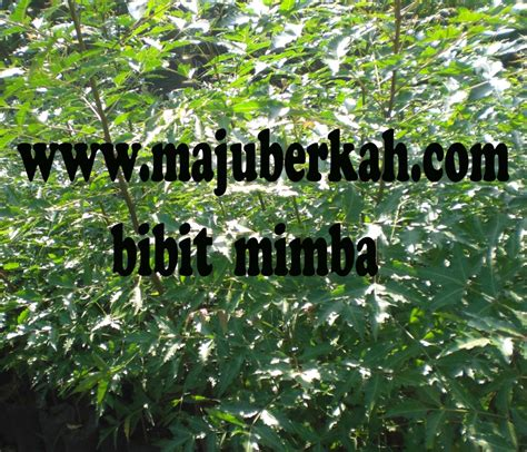 Bibit Tanaman Herbal Daun Nimal the gallery for gt pohon mimba