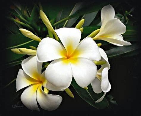imagenes de amor para jazmin flores m 225 gicas el jazm 237 n wiccareencarnada