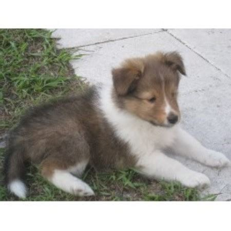 sheltie puppies for sale in florida younglove shelties shetland sheepdog breeder in cocoa florida 32927