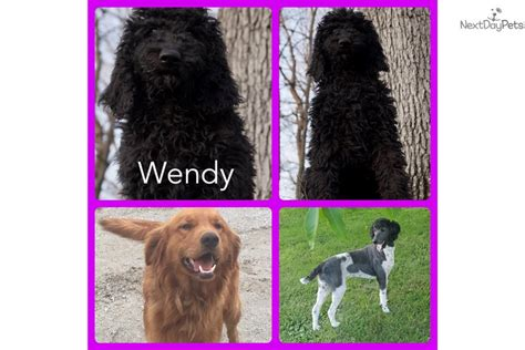 goldendoodle puppy kit wendy goldendoodle puppy for sale near fort wayne