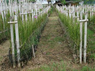 Bibit Bunga Matahari Semarang menanam merawat vanda douglas candi orchid anggrek