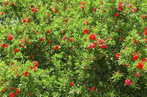 quince bush cutting back flowering quince how to prune an overgrown flowering quince tree