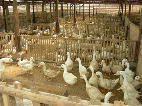 Bebek Hibrida 1 2 1 3 nusantara resources komoditi bebek