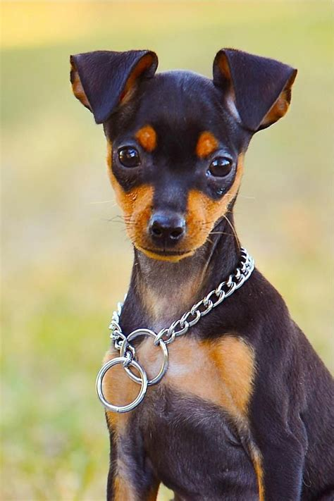 min pin puppy 25 best ideas about miniature pinscher on miniature doberman pinscher