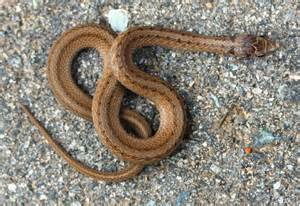 light brown snake snakes