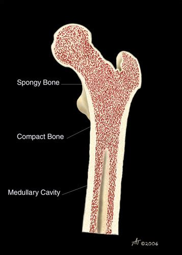 femur cross section femur bone anatomy cross section www pixshark com