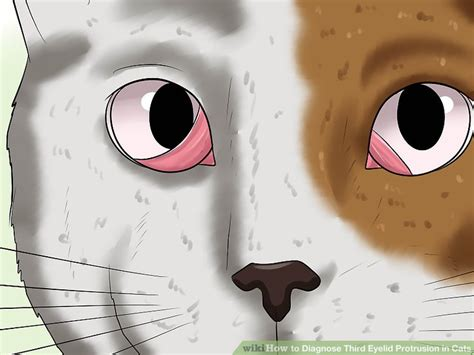 third eyelid how to diagnose third eyelid protrusion in cats 9 steps