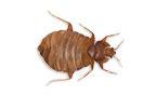 cedar oil bed bugs will cedar oil kill bed bugs debugged
