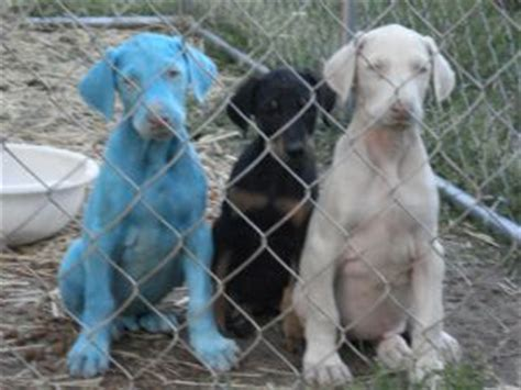 doberman puppies for sale va doberman pinscher puppies for sale