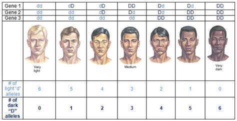 skin color genetics polygenic traits skin color www pixshark images