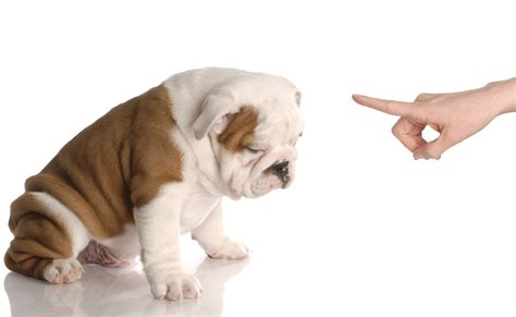 bad puppy behavior all you need to about depression in dogs tailster