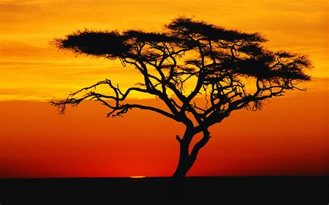 meaning of tree acacia tree meaning about acacia tree