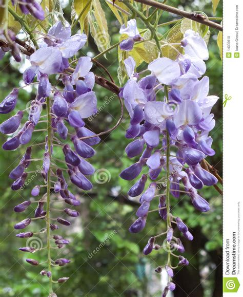 copy right free pictures of purple wisteria wisteria royalty free stock photo cartoondealer 83965623