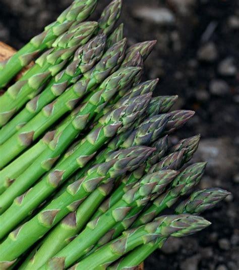 Harga Bibit Asparagus penanaman akar asparagus bibit tanaman asparagus putih