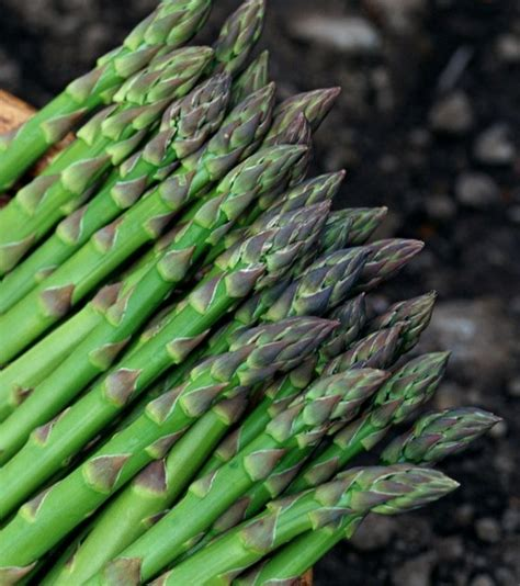 Merek Bibit Terong Ungu penanaman akar asparagus bibit tanaman asparagus putih