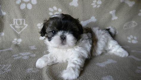 shih tzu puppies 8 weeks shih tzu puppies 8 weeks ready now shrewsbury