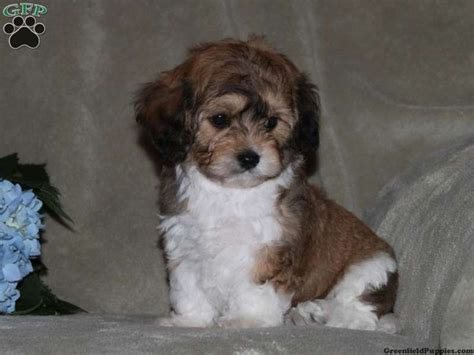 teddy puppies for sale in pa 17 best images about loving designer puppies for sale on morkie puppies