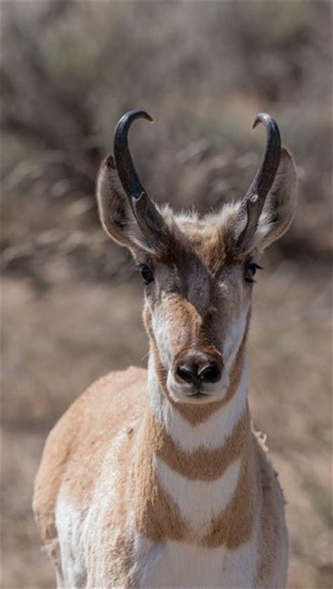 pronghorn antilocapra americana  animals